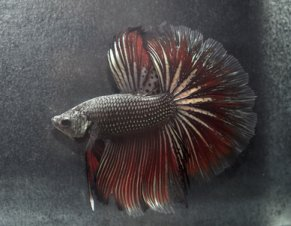 Dark Siamese Fighting Fish
