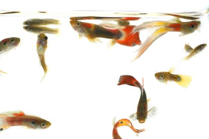 Group of Guppies