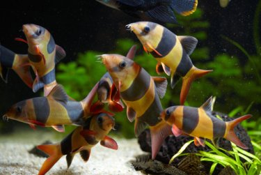 Group of Clown Loach