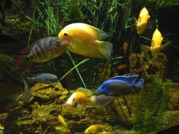Group of Cichlids