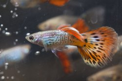 Guppies fish aquarium guide from amy s for How long is a guppy fish pregnant
