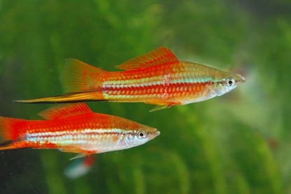 Swordtails Fish Aquarium Requirement And Guide