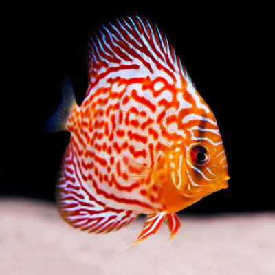 Discus aquarium fish care and guide from amy s for Keeping discus fish