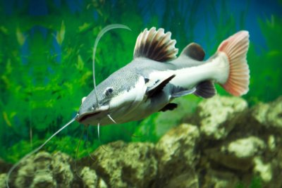 Red Tailed Catfish